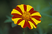 Flower, flowers, marigold, marigolds, tagetes, patula, tagetes patula, striped marigold, striped marigolds, french, french marigold, french marigolds.