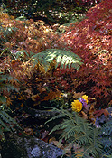 Garden, gardens, autumn, autumn foliage, fern, ferns, maple, maples, tree, trees.