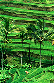 Indonesia, Bali, tegalalang, ubud, rice, rice field, rice fields, terrace, terraces, rice terrace, rice terraces, palm tree, palm trees, agriculture, rural, rural scene, rural scenes.