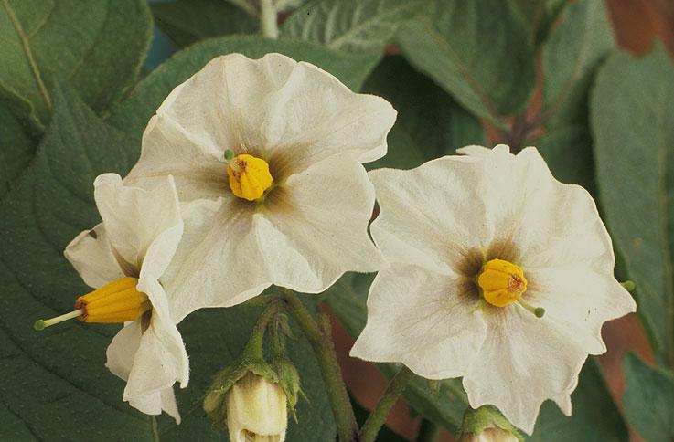 White flower vegetable image collections flower decoration ideas white flower vegetable best flower 2017 pak choi dwarf canton white vegetable seeds viridis hortus mightylinksfo mightylinksfo