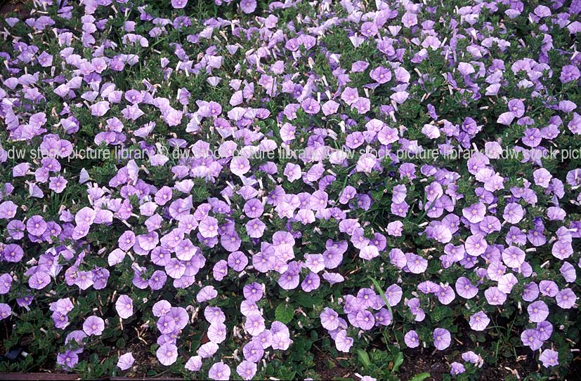 A royalty free image of ground morning glory convolvulus for Purple flower ground cover perennial