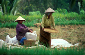 Indonesia, bali, ubud, women, woman, female, females, occupation, occupations, outdoors, rice, harvest, harvests, harvesting, rice paddy, rice paddies, paddy, paddies, hat, hats.