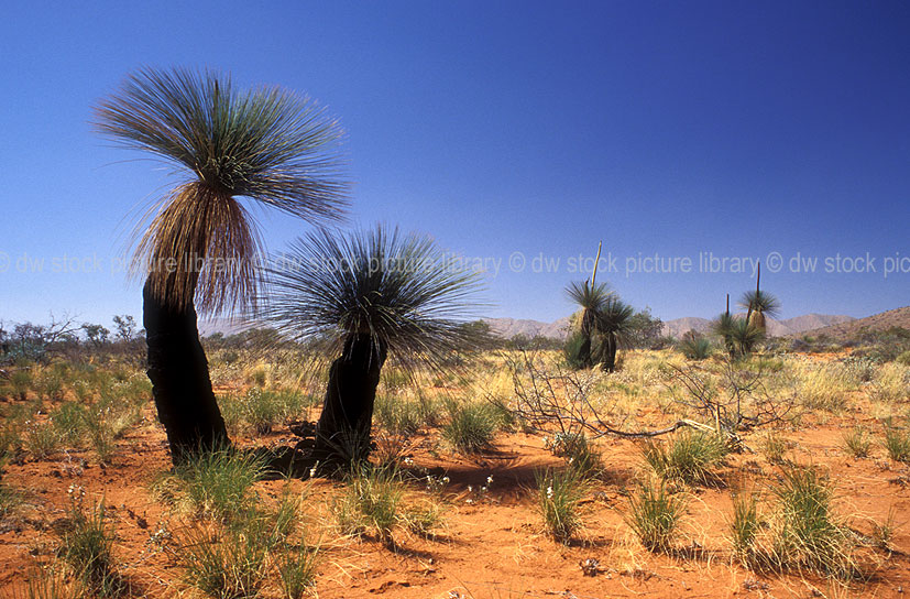 a royalty free image of  common blackboys  xanthorrhoea preissii  great victoria desert  western