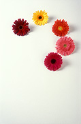 Flower, flowers, flower arrangements, cut flowers, floral arrangements, gerbera, gerberas, Daisy Jane,