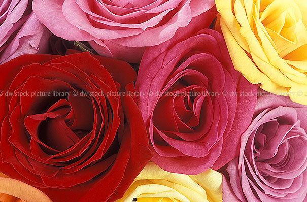 pink rose flower arrangements. floral arrangements, rose,