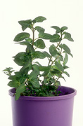 Herb, Herbs, pot, pots, potted, outdoor pot, outdoor pots, garden pot, garden pots, potted herbs, mint, peppermint, mentha, mentha piperita, piperite, peppermint, potted, Daisy Jane,