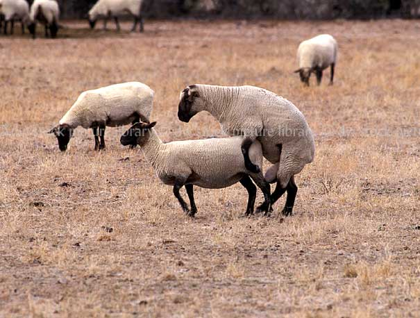 , animal, animals, sheep, meat industry, meat trade, mate, mating ...