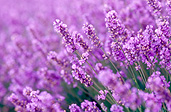 Farming, Farmland, farm, farms, herb, herbs, Agriculture, lavender, lavandula, lavandula augustifolia, lavender farm, lavender farms, lavender farming, lavender growers, lavender growing, lavender oil, lavender field, lavender fields, Tassie, flower industry, purple flower, purple flower, purple flowers, english lavender, labiatae, Tas, Tasmania, rural, rural scene, rural scenes, Daisy Jane,