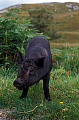Animal, animals, pig, pigs, wild, wild pig, wild pigs, scotland, europe, britain, great britain, british isles, Australia, Sport pictures, Sports, balloon images, hot air balloons