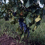 Agriculture, Australia, Fruit, Grape, Grapes, Vine, vines, vineyard, vineyards, grapevine, grapevines, grape vine, grape vines, vitis, industry, wine, wine industry, rural, rural scene, rural scenes.