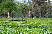 India, assam, tea, tea plantation, tea plantations, Farming, Farmland, farm, farms, plantation, plantations, tea growing, sikkim, agriculture, rural, rural scene, rural scenes, camellia sinensis.