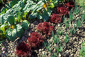 Vegetable, vegetables, garden, gardens, vegetable garden, vegetable gardens, onion, Beta, Beta vulgaris, vulgaris, onions, lettuce, lettuces, beetroot, spring onion, spring onions, salad onion, salad onions.