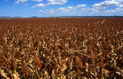 Australia, qld, queensland, darling downs, great dividing range, agriculture, sorghum, sorghum crop, sorghum crops, field, fields, paddock, paddocks, rural, rural scene, rural scenes.