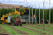 Australia, tas, tassie, tasmania, agriculture, rural, rural scene, rural scenes, hop, hops, humulus lupulus, harvest, harvests, harvesting, machinery, farm machinery, farming machinery, people.