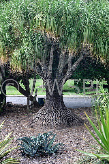 Ponytail palm also known as elephant 39 s foot tree for Ponytail palm cats