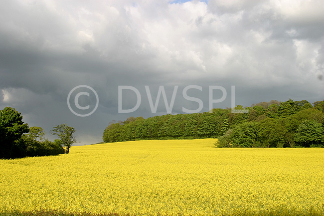 Canola Fields Quotes: OILSEED (RAPE) CROP, ENGLAND