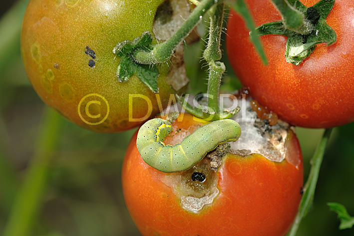 how to kill caterpillars on tomato plants