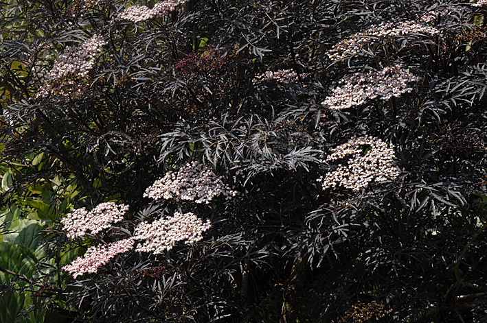 elder sambucus nigra black lace pink flowers with fine. Black Bedroom Furniture Sets. Home Design Ideas