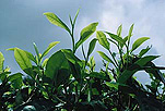 Agriculture, tea, tea plantation, tea plantations, tea growing, leaf, leaves, tea leaf, tea leaves, Malaysia, Malaysian, theaceae, camellia sinensis.